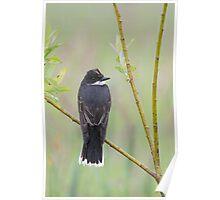 Eastern Kingbird Enjoying the Rain. Poster