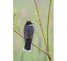 Eastern Kingbird Enjoying the Rain. Photographic Print