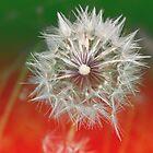 Dandelion by Melissa Park