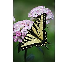 Butterfly On Sweet Williams Flower Photographic Print