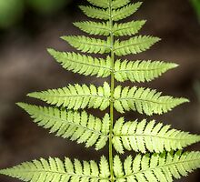 Fern II by EelhsaM