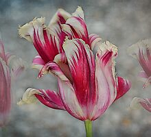 Flaming Kiss Tulip  by Johanna26