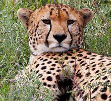 Siesta time ( Cheetah -  Acinonyx jubatus raineyii) Southern Serengeti  Tanzania by john  Lenagan