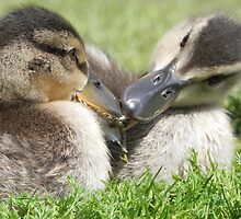 Darling Ducklings by Martha Medford