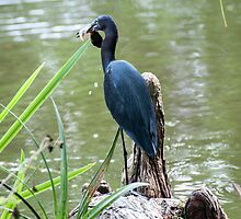Blue Heron with Lunch  by barnsis