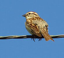 Sparrow on a Wire by lorilee