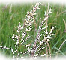 grasses by beracox
