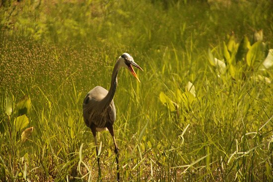 Urban 'Great Blue Heron' say's Hello! by Thomas Murphy