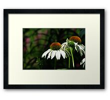 White Echinacea Coneflowers with Bee Framed Print