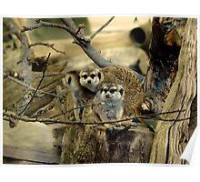 Meerkats, Mongoose, African Wildlife, Animals Poster