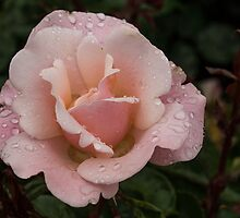 Rose and Rain 1 by Georgia Mizuleva