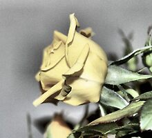 My Yellow Rose by aprilann