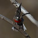Female Scarlet Robin  approaching  by Kym Bradley