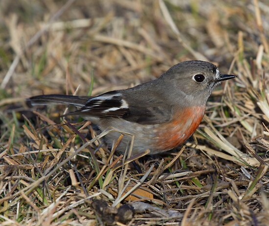 Up Close and Personal   ~  Female Scarlet Robin~  Canberra Australia  by Kym Bradley