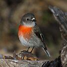 Cheeky Female Scarlet Robin by Kym Bradley