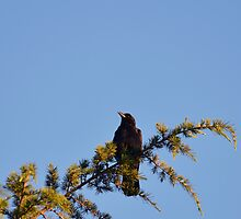 Crow in a Tree by PhotoMel