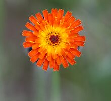 Orange Hawkweed I by EelhsaM