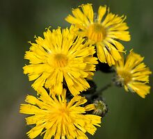 Yellow Hawkweed II by EelhsaM