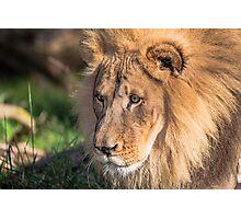 Hubert the Lion Photographic Print