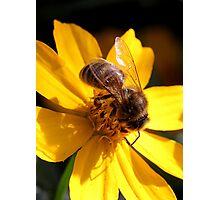 Bee on yellow flower (2) Photographic Print