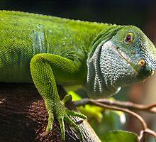 Fijian iguana (female) by Doug Cliff