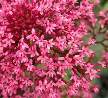 A Burst Of Pink  by Fay Freshwater