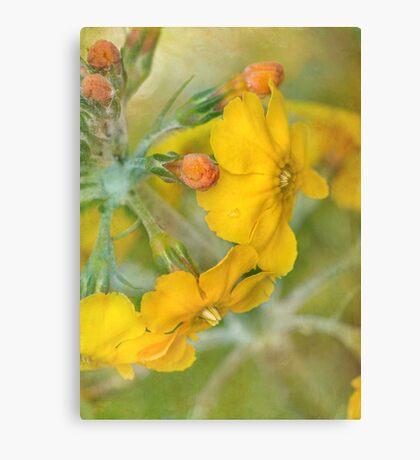 precious primrose Canvas Print