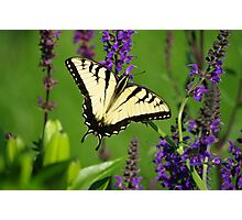 Yellow Swallowtail Butterfly on Purple Photographic Print