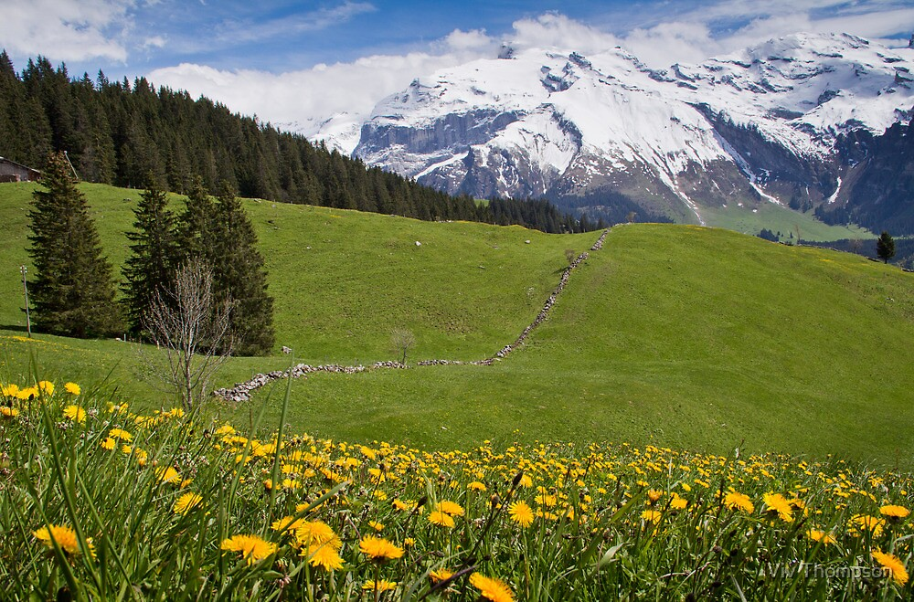 Dandelions in May by vivsworld