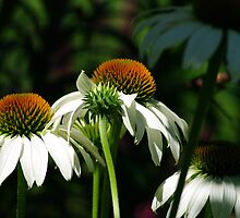 Group of Echinacea Flowers by Shari Rucker