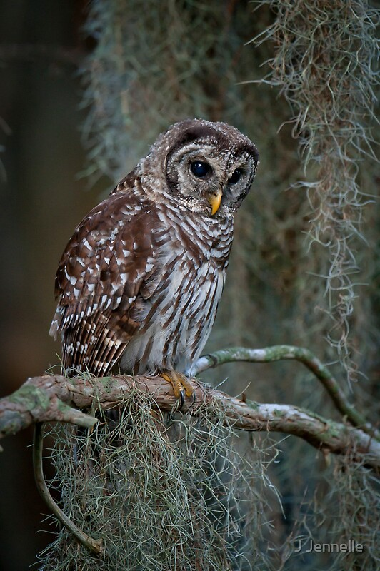 Quot Florida Barred Owl In Spanish Moss Quot By Joe Jennelle