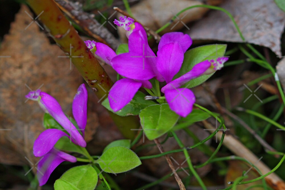 Gaywings Fringed Polygala by Vickie Emms