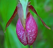 Moccasin Flower by Vickie Emms