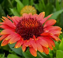 Red Echinacea by QCPhil