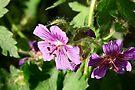 Wild Geranium by Jan  Tribe