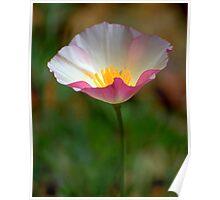 Two-Tone Pink & White Poppy Poster