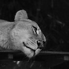 Lazy Lion by Stephanie Jensen