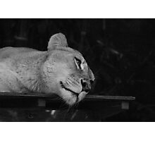 Lazy Lion Photographic Print