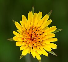 Meadow Salsify I by Ashlee White