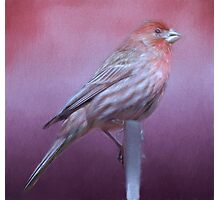 Housefinch Photographic Print