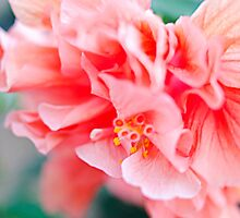 Double Peach Hibiscus I by jenseye