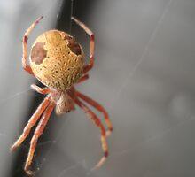 Unidentified spider - Mentone, Victoria by gen1977