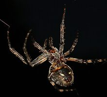 Garden Spider weaving #1 by Kane Slater