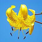 Yellow Lily Flowers Art Prints Lilies Blue Sky Summer by BasleeArtPrints