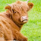 Highland Cow by M.S. Photography/Art