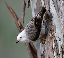 Varie Sittella_Chain Lagoons in Central Qld. by Alwyn Simple