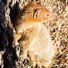 Slender Mongoose  by Michael  Moss
