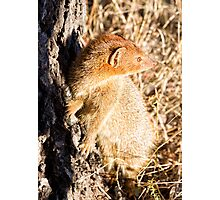 Slender Mongoose  Photographic Print