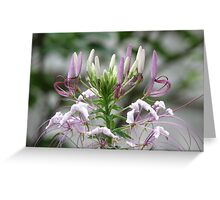 Lavender Cleome Greeting Card