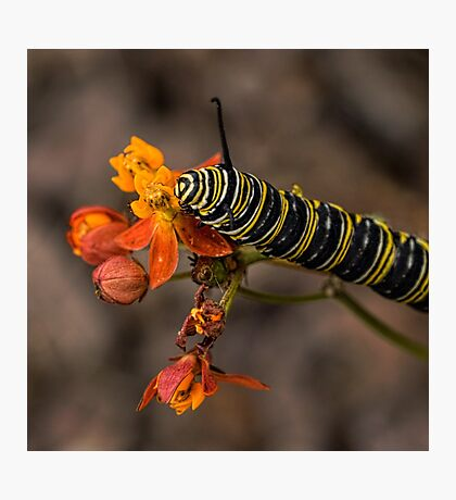 Monarch caterpillar Photographic Print